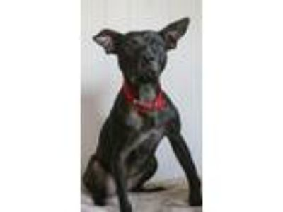 Adopt Stitch a Black Pit Bull Terrier / Mixed dog in Baton Rouge, LA (22758555)