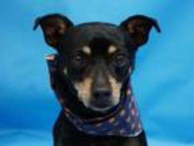 Adopt Cheech a Miniature Pinscher