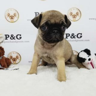Pug PUPPY FOR SALE ADN-91734 - PUG LUCY FEMALE
