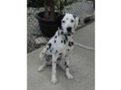 Adopt Ricky-seeking sponsors only a Dalmatian