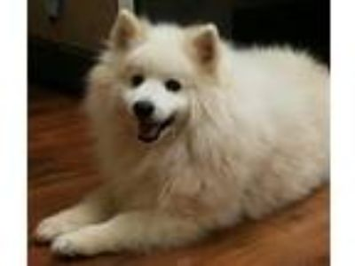 Adopt Pippin a American Eskimo Dog / Mixed dog in Charlottesville, VA (25767623)