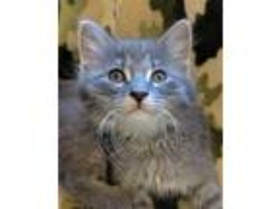 Adopt Gucci a Domestic Medium Hair, Tiger