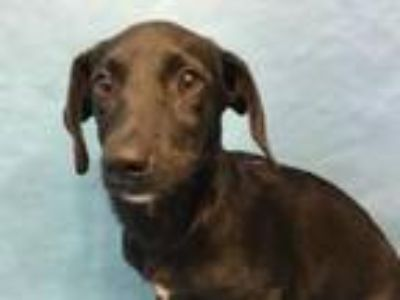 Adopt Tractor a Dachshund, Mixed Breed