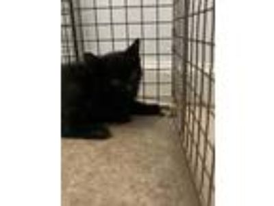 Adopt Gal a All Black Domestic Shorthair / Domestic Shorthair / Mixed cat in