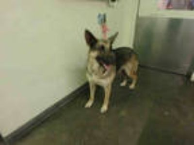 Adopt BLUE a Black - with Tan, Yellow or Fawn German Shepherd Dog / Mixed dog in