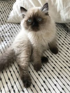 Blue Eye White Doll & Flat face Persian & Himalayan Kittens
