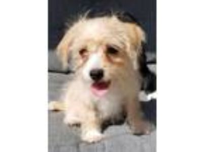 Adopt Levi a Tan/Yellow/Fawn - with White Brussels Griffon / Poodle (Miniature)
