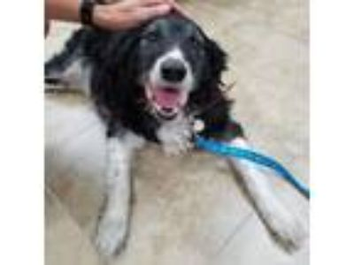 Adopt Jack 2083 a Border Collie