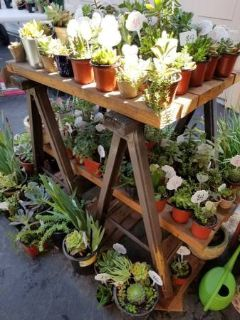 100's of low priced succulents,Iris and Society Garlic plants