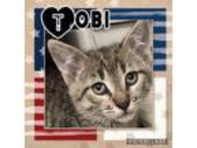 Adopt Tobi a Brown or Chocolate Domestic Shorthair / Domestic Shorthair / Mixed