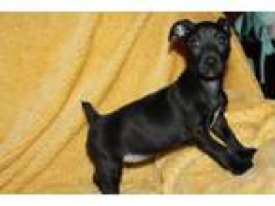 Adopt Sunnie a Black Spaniel (Unknown Type) / Jack Russell Terrier / Mixed dog