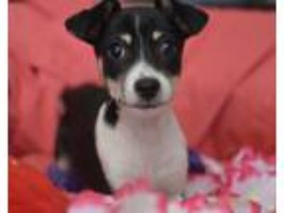 Adopt Lolly a Tricolor (Tan/Brown & Black & White) Miniature Pinscher / Toy Fox