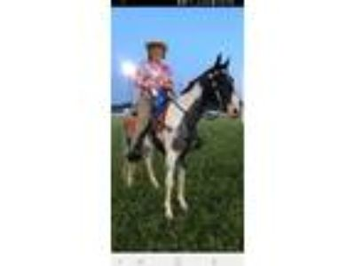 45 yr old Blue Roan Spotted registered Tennessee Walking Horse