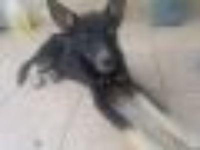 Tom German Shepherd Dog - Husky Dog