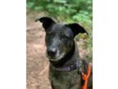 Adopt Rosie Posey a Black Hound (Unknown Type) / Shepherd (Unknown Type) / Mixed