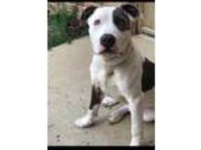 Adopt Booker a White American Pit Bull Terrier / Mixed dog in Crawfordsville