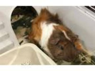Adopt AVERY a Brown or Chocolate Guinea Pig / Mixed small animal in Grand