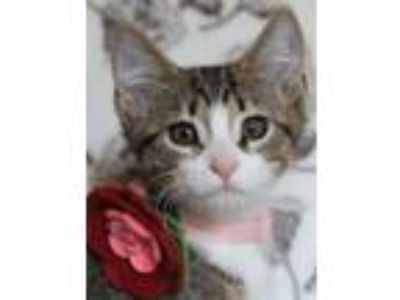 Adopt Fannie-ADOPTED a American Shorthair, Domestic Short Hair