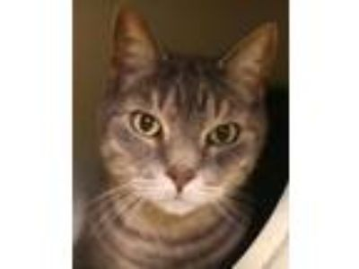 Adopt Sterling (and Silver) a Domestic Short Hair