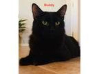 Adopt Buddy a Domestic Short Hair