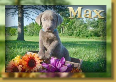 Max AKC Male Labrador Retriever