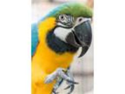 Adopt Big Blue a Macaw
