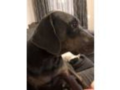 Adopt Charlie a Brown/Chocolate Weimaraner / Labrador Retriever / Mixed dog in