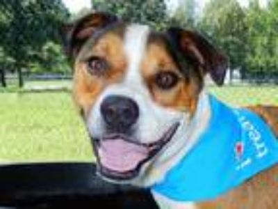 Adopt Brewski a Tan/Yellow/Fawn - with White Boxer / Harrier / Mixed dog in