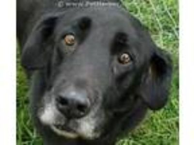 Adopt HENNA a Black Labrador Retriever / Mixed dog in Rogers, AR (22640818)