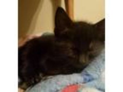 Adopt Gideon a Domestic Short Hair