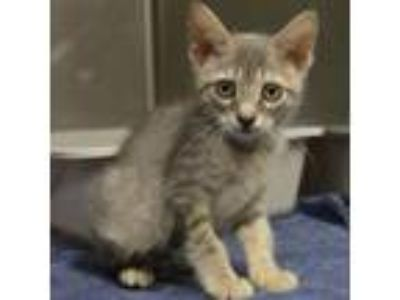 Adopt Marsella a Gray or Blue Domestic Shorthair cat in Bryan, TX (25861183)