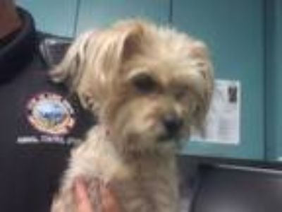 Adopt A625805 a Yorkshire Terrier, Mixed Breed