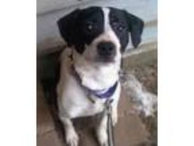 Adopt Gummy Bear-READY FOR A HOME! a Boston Terrier, Pit Bull Terrier