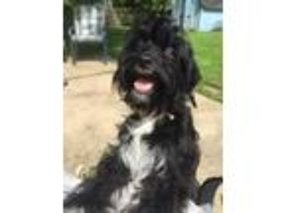 Adopt Promise a Black Poodle (Miniature) / Mixed dog in Naperville