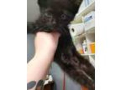 Adopt Tesla a All Black Domestic Shorthair / Domestic Shorthair / Mixed cat in