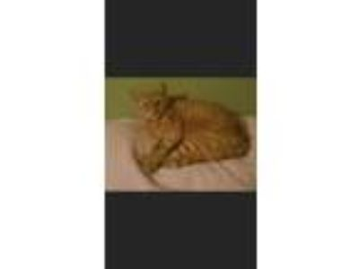 Adopt Rose a Orange or Red Tabby Domestic Mediumhair cat in Pineville