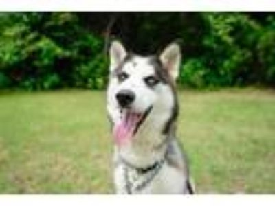Adopt Ari a Siberian Husky, Mixed Breed