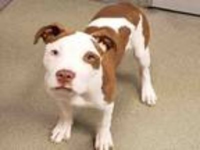Adopt KODA a Pit Bull Terrier, Mixed Breed