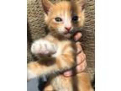 Adopt Tigger a Orange or Red (Mostly) Domestic Shorthair (short coat) cat in Los