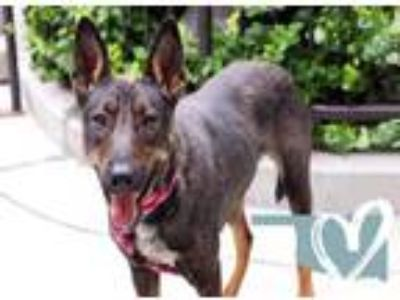 Adopt Charla a Black German Shepherd Dog / Australian Cattle Dog / Mixed dog in