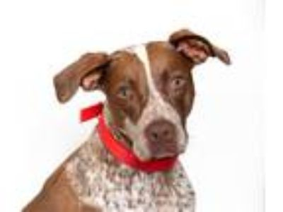Adopt Harley a German Shorthaired Pointer / Mixed dog in San Luis Obispo