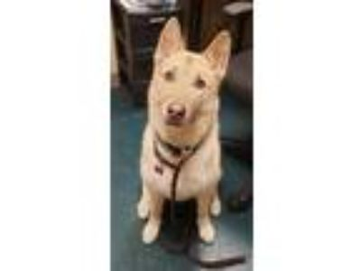 Adopt Osito a German Shepherd Dog / Mixed dog in Oceanside, CA (25326935)