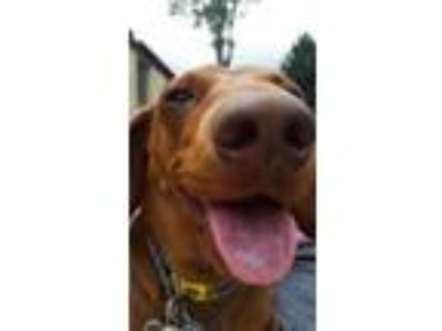 Adopt Max a Dachshund / Mixed dog in Pittsburgh, PA (25853574)