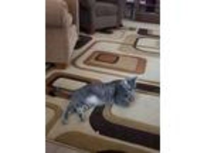 Adopt Wilson a Gray, Blue or Silver Tabby Domestic Mediumhair / Mixed cat in