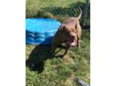 Adopt Nadia a Pit Bull Terrier