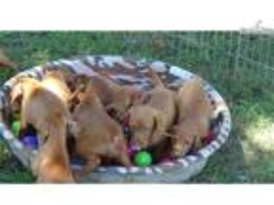 AKC Vizsla Puppies