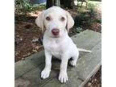 Adopt Puppy 3 a Tan/Yellow/Fawn Labrador Retriever / Mixed Breed (Medium) dog in