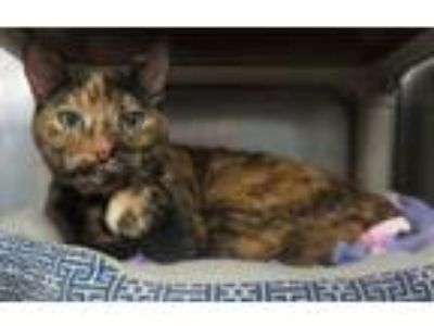 Adopt MOLLY a Tortoiseshell, Domestic Short Hair