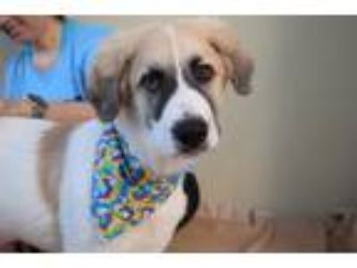 Adopt Hudson a White Great Pyrenees / Mixed dog in McKinney, TX (25518420)