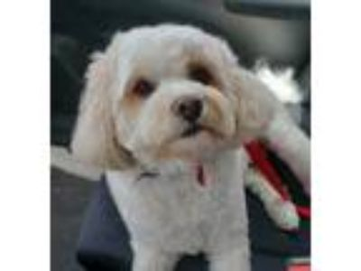 Adopt Piper a Cavalier King Charles Spaniel, Poodle